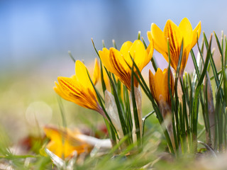 Fotobehang Krokussen Frühlingsblüher im Park