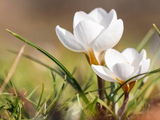 weiße Krokusse als Frühlingsboten