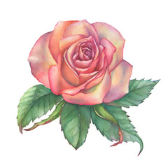 Beautiful single pink peach rose with green leaves. Hand drawn botanical watercolor painting illustration isolated on white background.