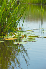 Plants in Water near Lakeside / Leaves of water lily swim on surface of tranquil pond (copy space)