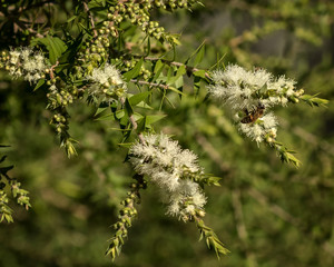 Close-up of Prickly-leaved Paperbark (Melaleuca styphelioides) -  small-medium tree native to eastern Australia - with European Honey Bee (Apis mellifera)