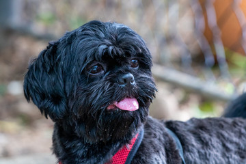 shih tzu black resting quietly in front of a railing