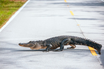 American Alligator crossing a road in Everglades national Park.Florida.USA