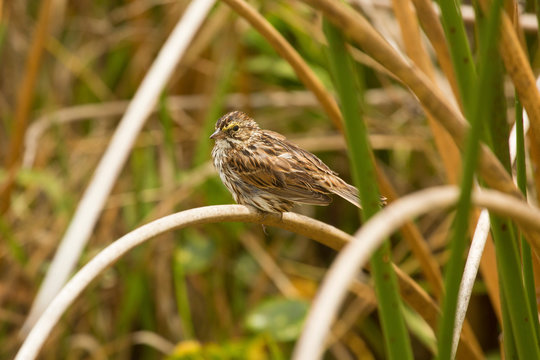 Savannah sparrow perched in cattails at Orlando Wetlands Park.