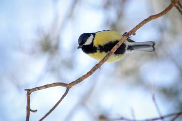 bird tit on a tree branch