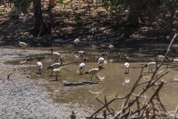 Gruppe von Langschnäbeln stolziert durch den Teich