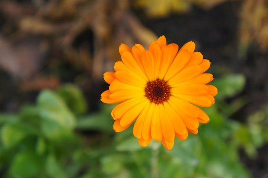 Calendula officinalis or the pot marigold one orange flower head