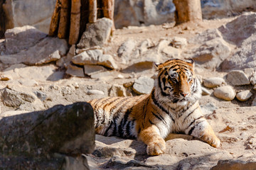 The Cute Tiger in the Falling Zoo