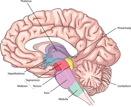 the medial surface of the brain. Brain stem Structures. anatomy of the Central nervous system