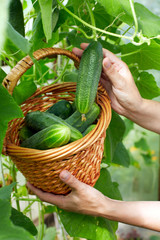 Basket with  cucumbers,  in the hands of a farmer background of nature.