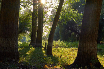 Trunks of beautiful poplar trees in the forest in bright sunlight at sunset