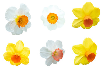 Close up.Flowers yellow and white daffodils on isolated on the white background. Photo with clipping path.