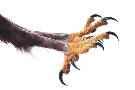 Attacking Talons  of an Eagle isolated on white.