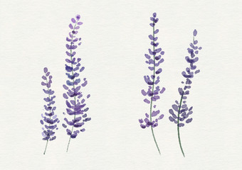 Watercolor bunch of lavender on white background