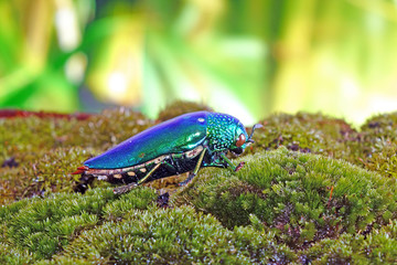 Beetle : Jewel beetles or metallic wood-boring beetles, One of the World's most beautiful insects with their iridescent colors and brilliant metallic colors from the forest of Thailand.