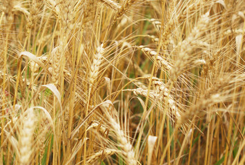 A field of wheat. Some ears.