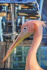 Pink pelican on the beach promenade of Paphos, Cyprus