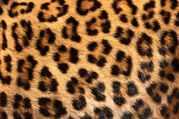 Poster Leopard Detail skin of leopard.