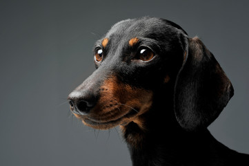An adorable black and tan short haired Dachshund looking curiously