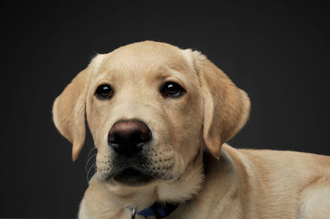 Portrait of an adorable Labrador Retriever puppy looking curiously at the camera