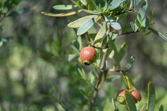 Sandalwood nuts on tree, Santalum spicatum, Western Australia