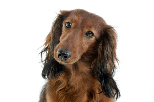 long haired red Dachshund in a white studio
