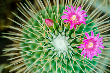 pink purple flowers in garden of Echinopsis Lobivia hybrid cactus.