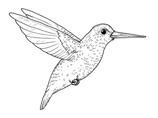Drawing of hummingbird. Classic illustration of little bird, isolated on white background.