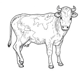 Drawing of a cow.  Classic illustration of cattle mammal, isolated on white background.