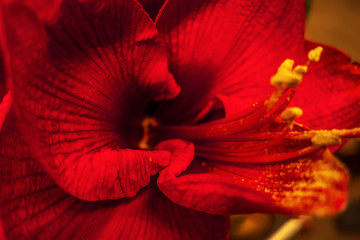 hippeastrum in the garden on a bed