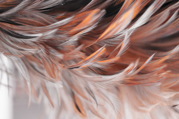 Blur styls and soft color of chickens feather texture for background