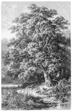 Oak / vintage illustration from Meyers Konversations-Lexikon 1897