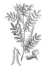True indigo (Indigofera tinctoria) / vintage illustration from Meyers Konversations-Lexikon 1897