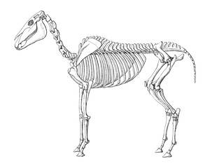 Horse skeleton / vintage illustration from Meyers Konversations-Lexikon 1897
