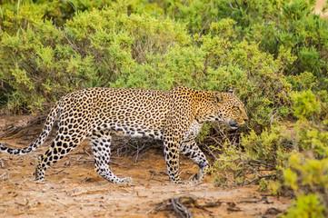 A leopard walking in the forest in Samburu