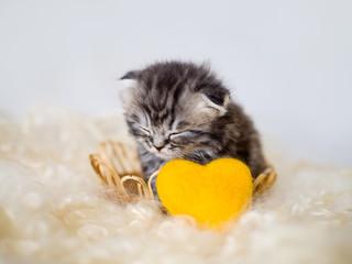 Purebred newborn fluffy gray kitten sleeping in a basket.
