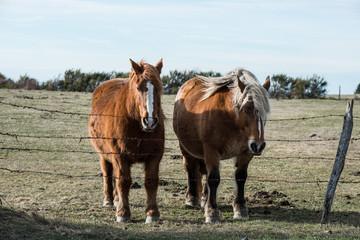 deux chevaux derrière la clôture en barbelé