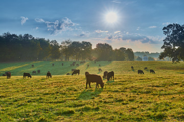 Grazing Cows at Sunrise Wall mural