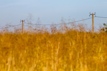 Yellow cornfield and blue sky background.