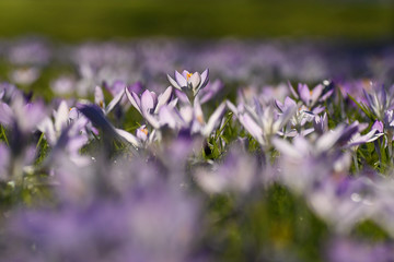 Field of crocus flowers