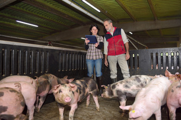couple of farmers with a digital tablet on a pig farm