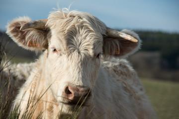 portrait d'une vache