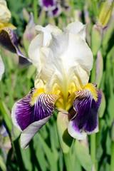 Violet with white iris flower on green garden background