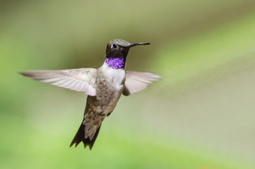 Wall Mural - Black-Chinned Hummingbird with Throat Aglow While Hovering in Flight