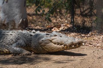 Krokodil mit geschlossenem Maul liegt auf der der Lauer