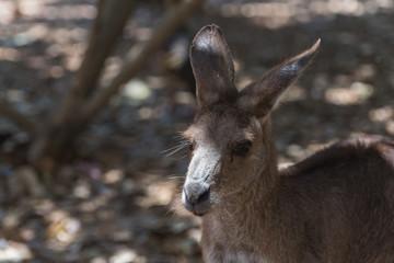 Kopf eines Känguru mit Blick nach links