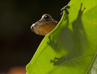 Curious little frog peeping over edge of leaf. Dendropsophus manonegra an amphibian species of the Amazon rain forest of Colombia Brazil and Ecuador, a night animal