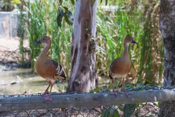 Enten sitzen gespannt auf einem Holzzaun
