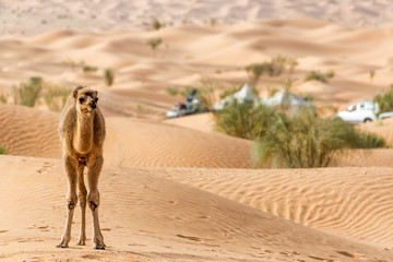 Young Camel in Tunisia
