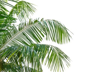 Tropical coconut leaves on white isolated background for green foliage backdrop
